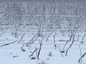 Photographie : extérieur hiver, des plans de vignes enneigés