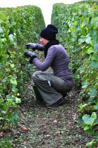 Photographie : extérieur jour. Dans les vignes une personne accroupie est en train de vendanger : ramasser du raisin