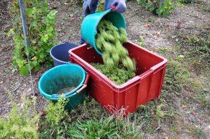 Photographie, extérieur jour. Vendanges, une personne est en train de vider un sceau rempli de raisins récoltés dans une caisse de transport