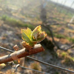 Une photographie d'un rameau de vigne en gros plan, avec l'attention concentrée sur un jeune bourgeon