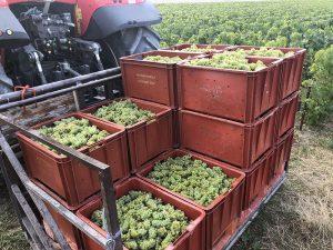 Des caisses remplies de raisins blancs, empilées sur un tracteur. Texte (sur les caisses) : Coopérative viticole, Vaudemange - Billy (le Grand)
