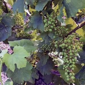 Un plant de vigne avec des feuilles et des grappes de raisin en cours de maturité (petits et gros grains verts non transparents)