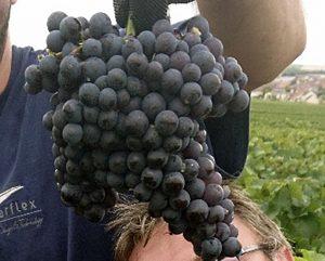Extérieur, vignes. Une très grosse grappe de raisin noir (Pinot Meunier) est montrée