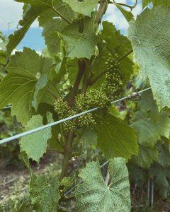 Extérieur. Photographie d'une toute jeune grappe de raisin : les grains sont a peine formés.
