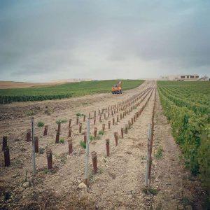 Extérieur. Photographie d'une parcelle de vigne, ou une partie vient de recevoir de nouveaux plants de vignes (petits, protégés dans un habillage). Les plants font a peine un tiers de la hauteur du piquet