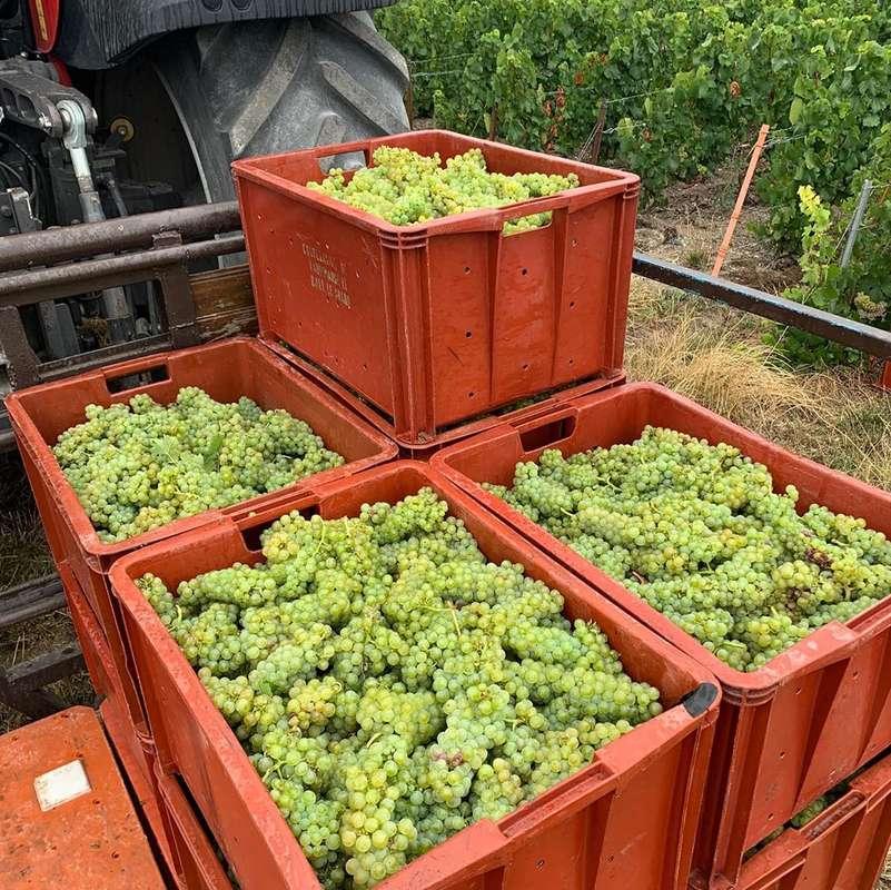Extérieur. Photographie de caisses contenant du raisin blancs. Elles sont posées sur un tracteur. Des vignes sont en arrière plan