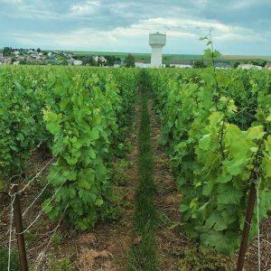 Extérieur. Photographie d'un chemin de vigne. Une vigne à gauche, une vigne à droite, un petit chemin d'herbe entre les deux