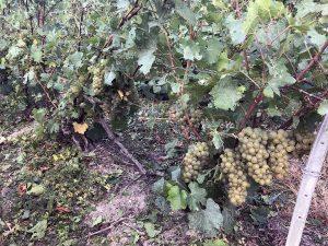Extérieur. Photographie. Un plan de vignes avec beaucoup de grappes de raisins blancs, prêtes à êtres vendangées. Les feuilles sont un peu endommagées suite à l'effeuillement (qui facilite le travail des vendangeurs)