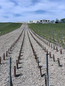 Extérieur. Photographie de jeunes plants de vignes tout juste replantés