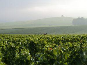 Photographie, extérieur jour. Des vignes au premier plan, au second plan des vendangeurs au travail